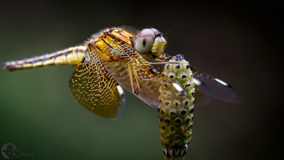 Close up shot of Dragonfly.