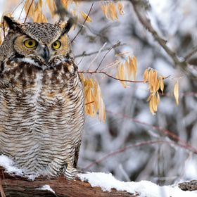 This great horned owl was perched on a snow covered branch waiting for the morning sun to heat up the frozen Idaho landscape.  http://1-michael-m...