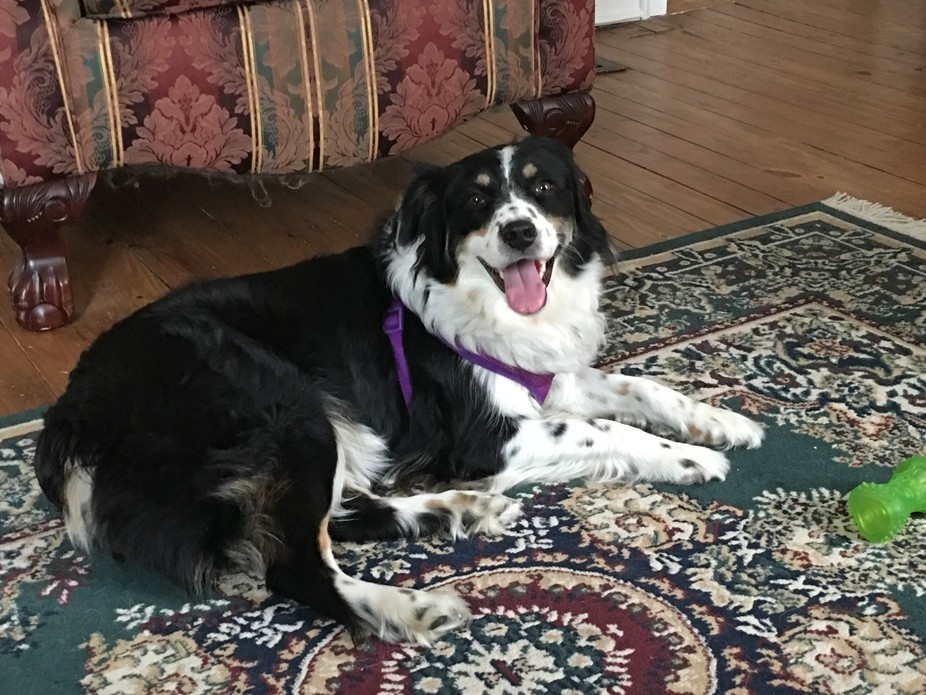 """My Beautiful Australian Shepherd, """"Lady Pep"""" When it comes to pets being your b..."""