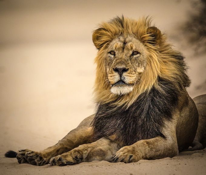 Black Mane Lion by Patrick2828 - Explore Africa Photo Contest