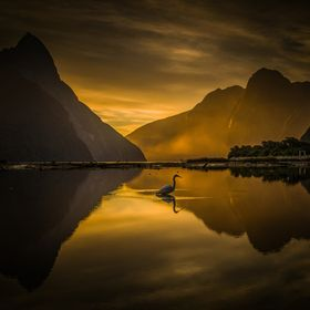 A rare NZ White Heron/Kotuku stalks its prey in the still waters of Milford sound  The white heron or Kotuku is well-loved by the New Zealand peo...