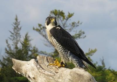 Peregrine Falcon named Hunter