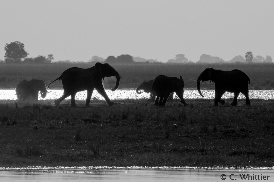 Some young elephants strut and play in the afternoon sun on an island in the Chobe River, Botswana.