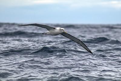 White-capped Mollymawk - Albatross