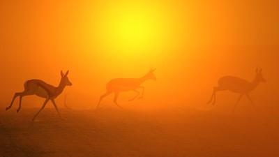 Springbok Antelope - Golden Life, Beautiful Freedom