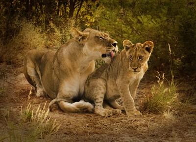 lioness and cub nxai 2015