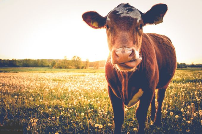 Happy cow on the meadow in the sun by reginebaeker - Farms And Barns Animals Photo Contest
