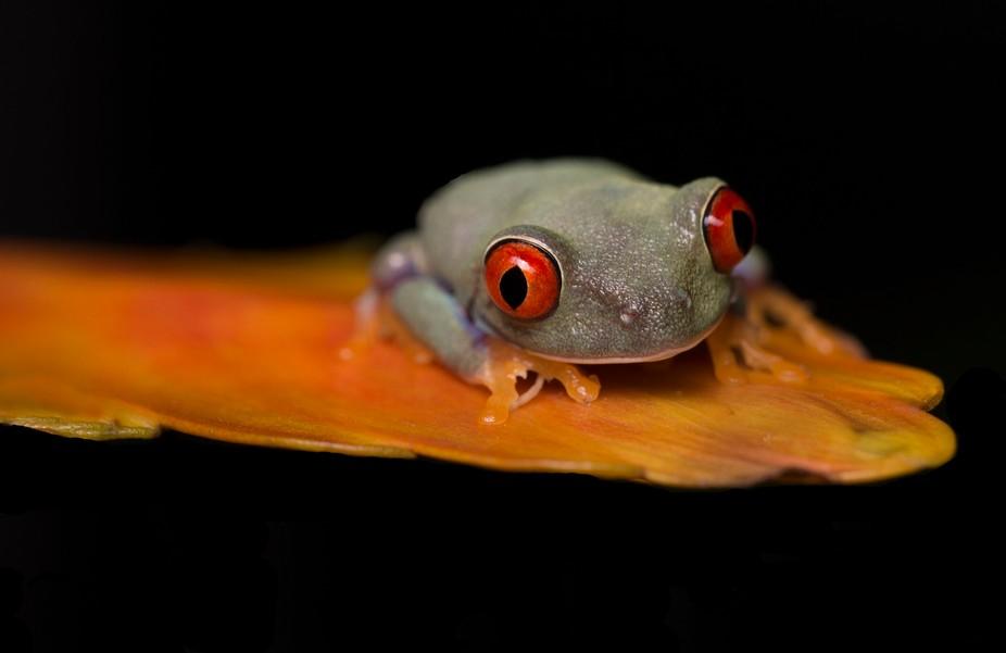 Tree Frog 1