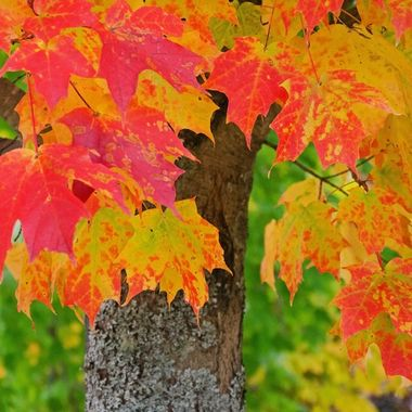 Colourful fall maple leaves.