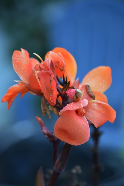 Miss Gladiola of the Fall