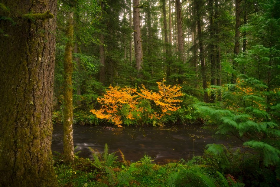 While adventuring in the forest a flash of color shocked my periphery...these two radiant amber b...