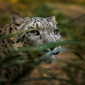 Snow Leopards are experts in camouflage. There are stories about wild Snow Leopards wearing a GPS collar, but still the researchers were unable t...