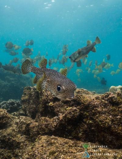 Curious Porcupine Fish