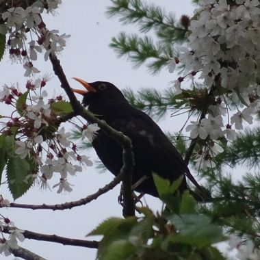 Drawn to the lovely song from this blackbird high in the flowering blossom tree.