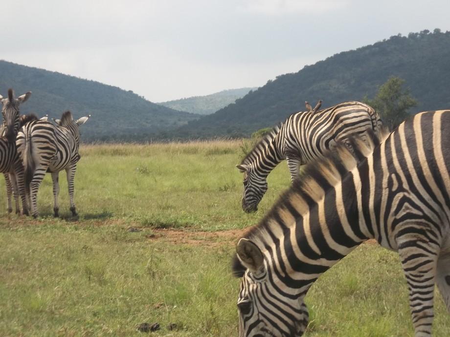 Zebra Hills