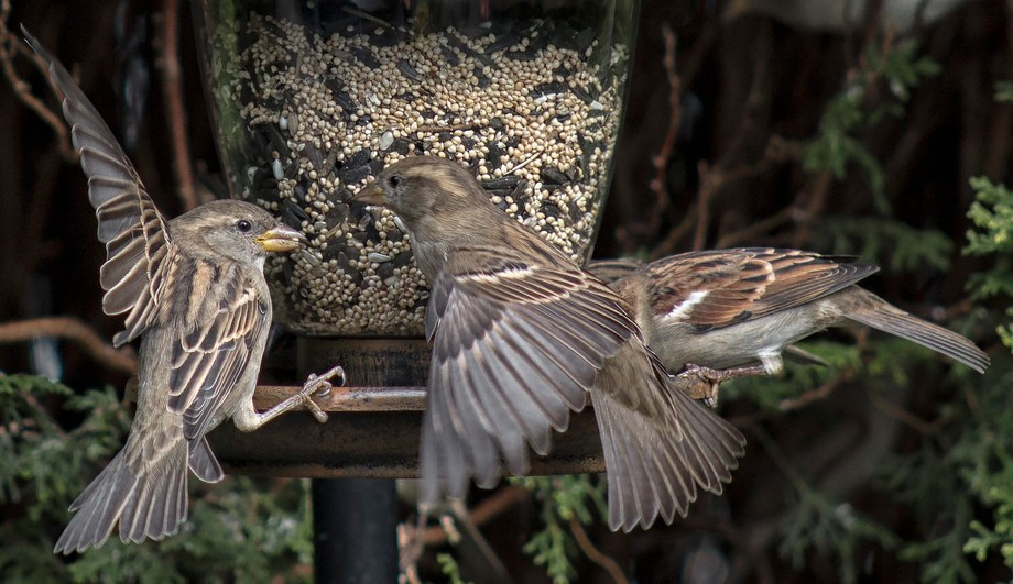 A couple of Finches fighting over seating at one of our feeders. Thankfully there was no bloodshed.