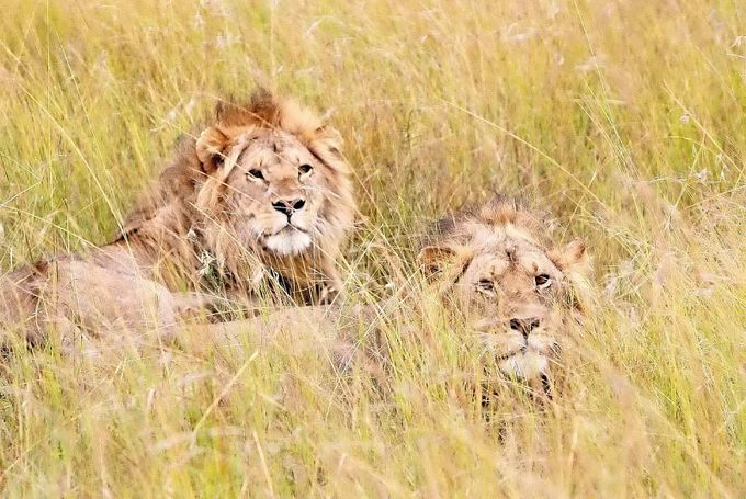 Serengetti Lion in the Grass by Kaceoo - Can You See Me Photo Contest