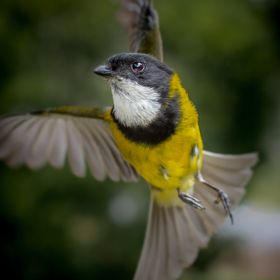 Male Golden Whistler - Tasmania - Australia
