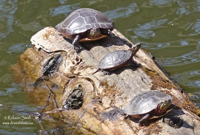 Trio of Midland Painted Turtles sunning on log floating in pond - Photo by Robson Smith