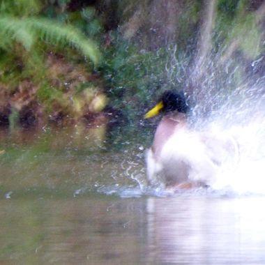 Electrified Duck wash