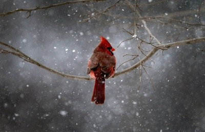 Cardinal in the snow.