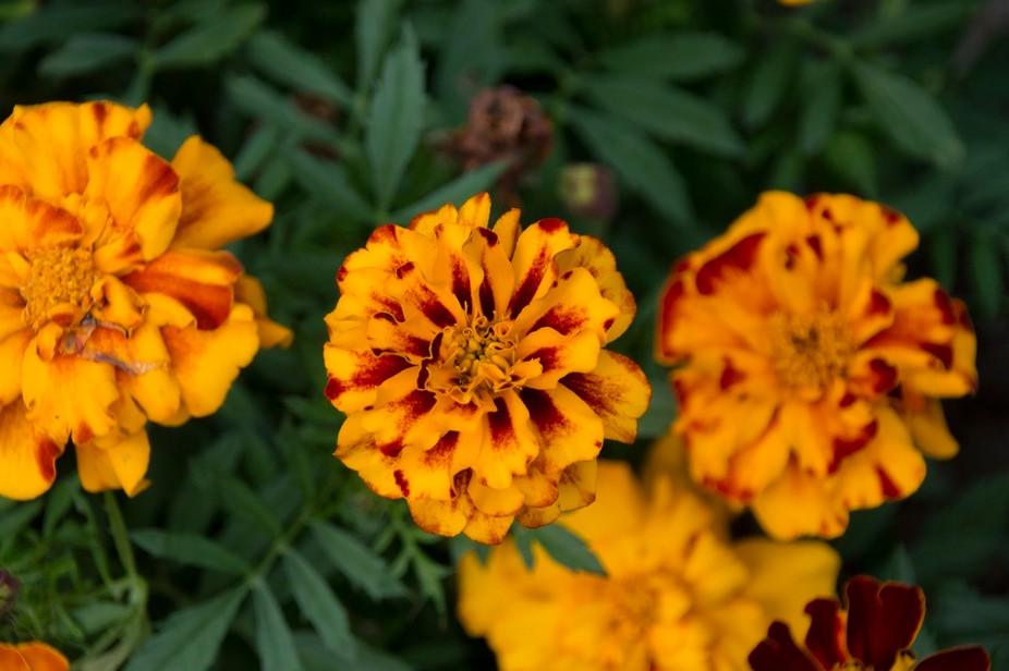 Marigolds flaunting their vibrant orange colors at the Botanical Gardens