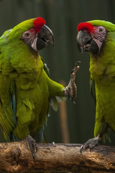 Great green macaws double act