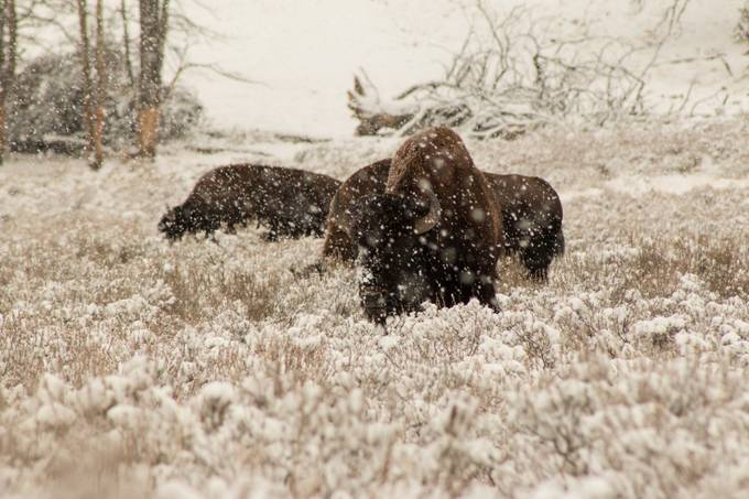 Snowy Bison by selinacharnock - Winter Wildlife Photo Contest