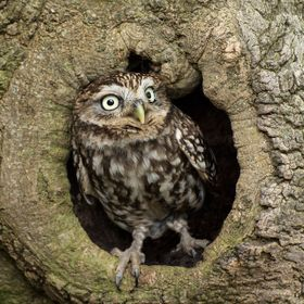 little owl  in hole in tree