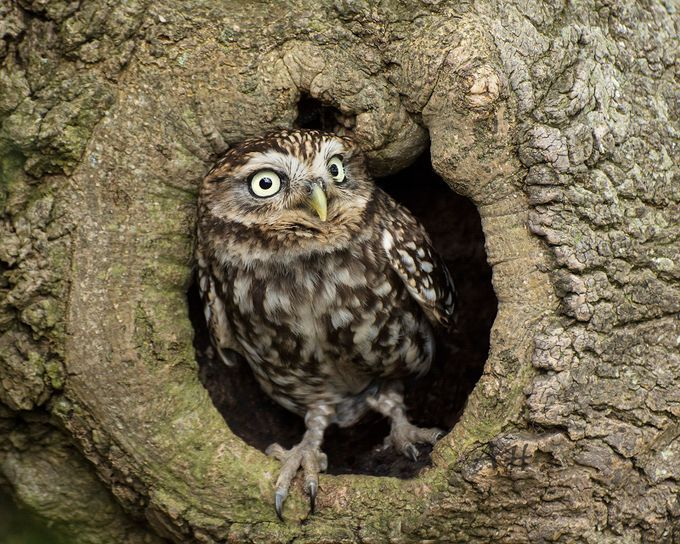 little owl  in hole in tree by spicspics - Beautiful Owls Photo Contest