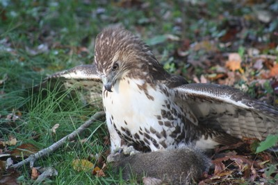 Young Redtail with squirrel