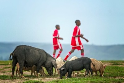 Pigs on a soccer field.