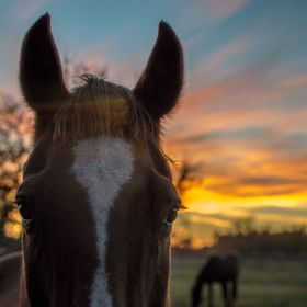 I was actually taking a photo of the horse in the background, grazing by the tree with the nice sunset when this curious guy came into view.  Too...