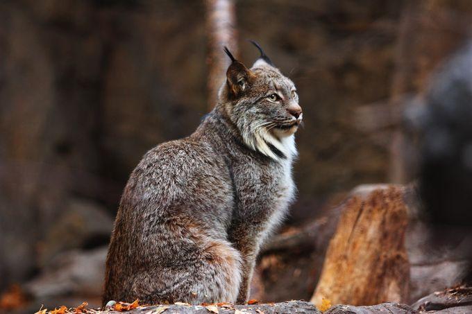 lynx by Jean_Brisebois - Wildlife Photo Contest 2017