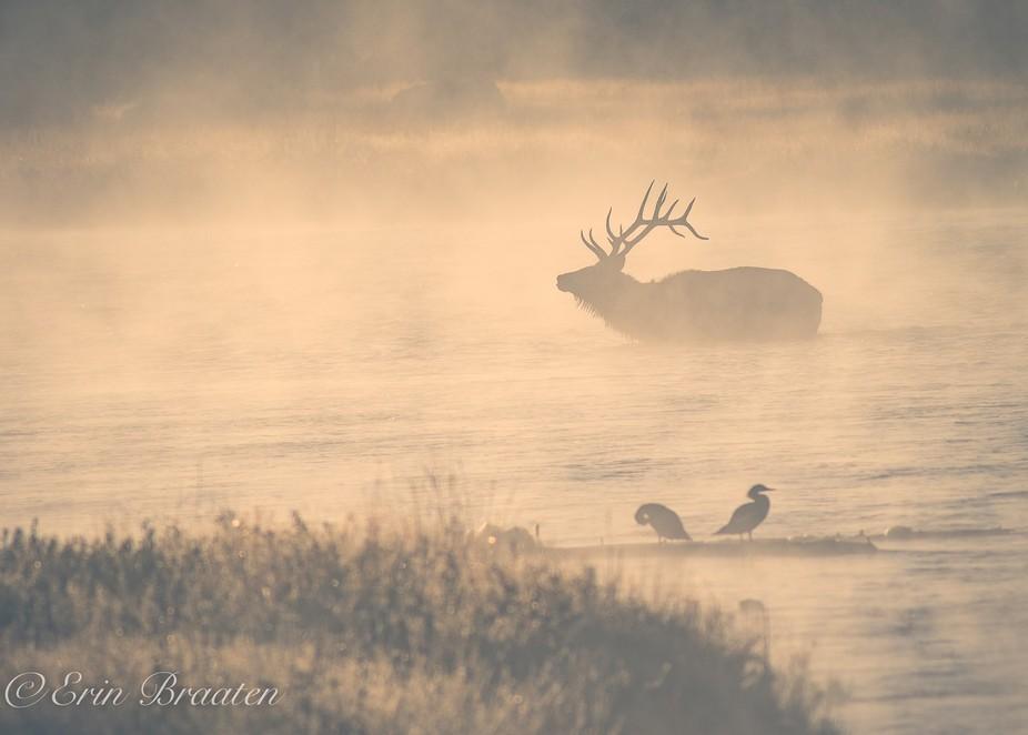 Bull Elk Crossing