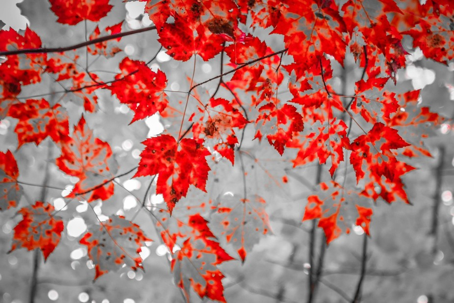 Leaf the Red