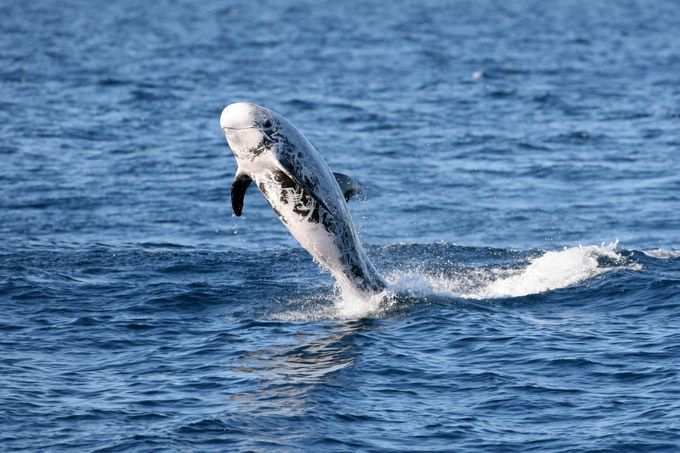 Risso's Dolphin by TrekLightly - Wildlife And Water Photo Contest