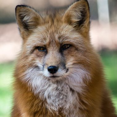 Close up of a Red Fox.