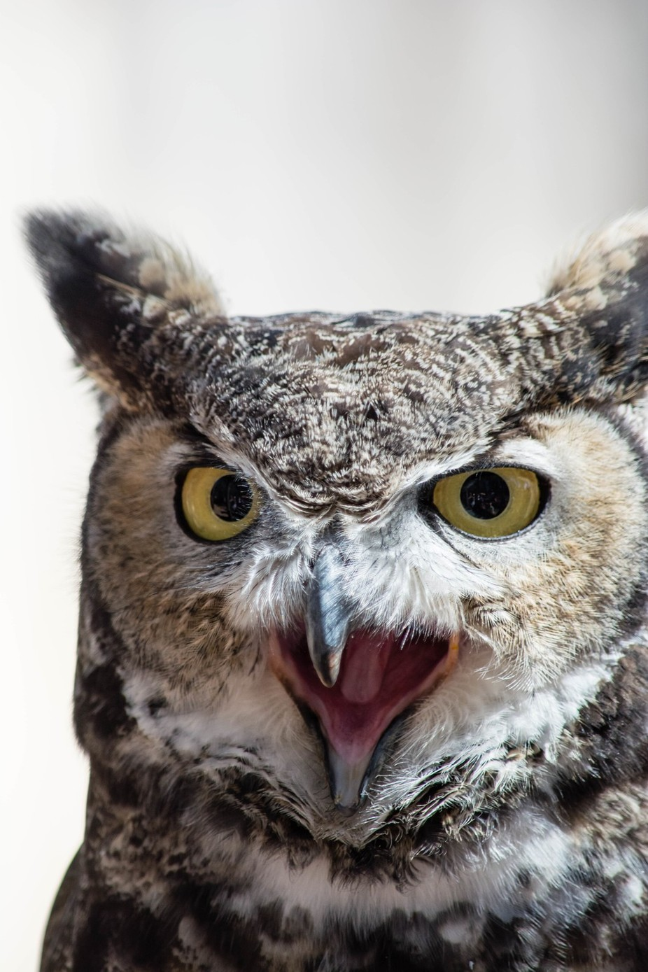 Great Horned Owl giving it's opinion :-)