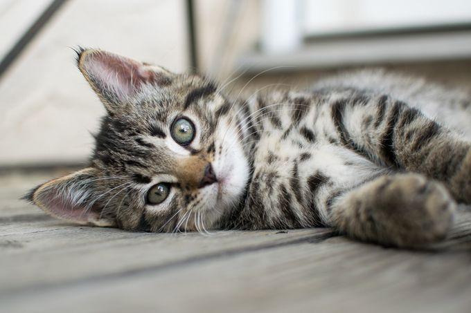 Playful Gaze by RyanIzyk - Cute Kittens Photo Contest