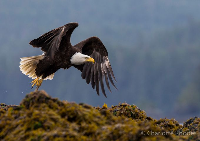 Take Off by charlotterhodes - Just Eagles Photo Contest