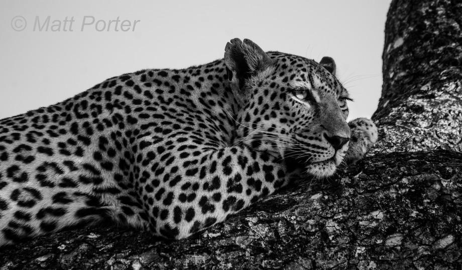 Leopard18