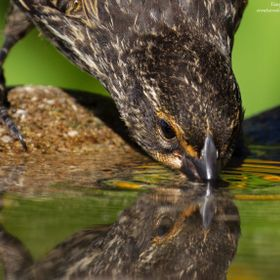 A female Red-winged Blackbird taking a refreshing drink from my bird bath in Autumn.  The golden hues of the Rudbeckia blooms reflecting in the water.