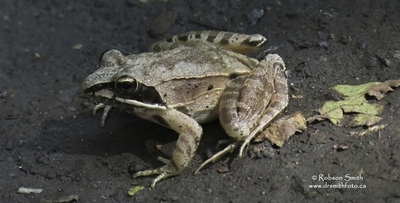 Wood Frog in shade - Rana sylvatica - Lithobates sylvaticus - Photo by Robson Smith