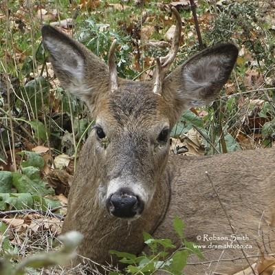 White Tail Deer Juvenile Buck Lying Down -Odocoileus Virginianus - Photo by Robson Smith