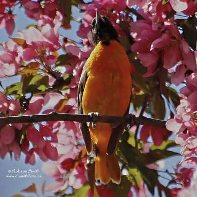 Male Baltimore Oriole in Pink Blossoms - Icterus galbula - Photo by Robson Smith