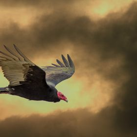 Turkey Vultures are common across the Americas and are scavengers. The fiery sky was a sunset from the same location but on a different day!