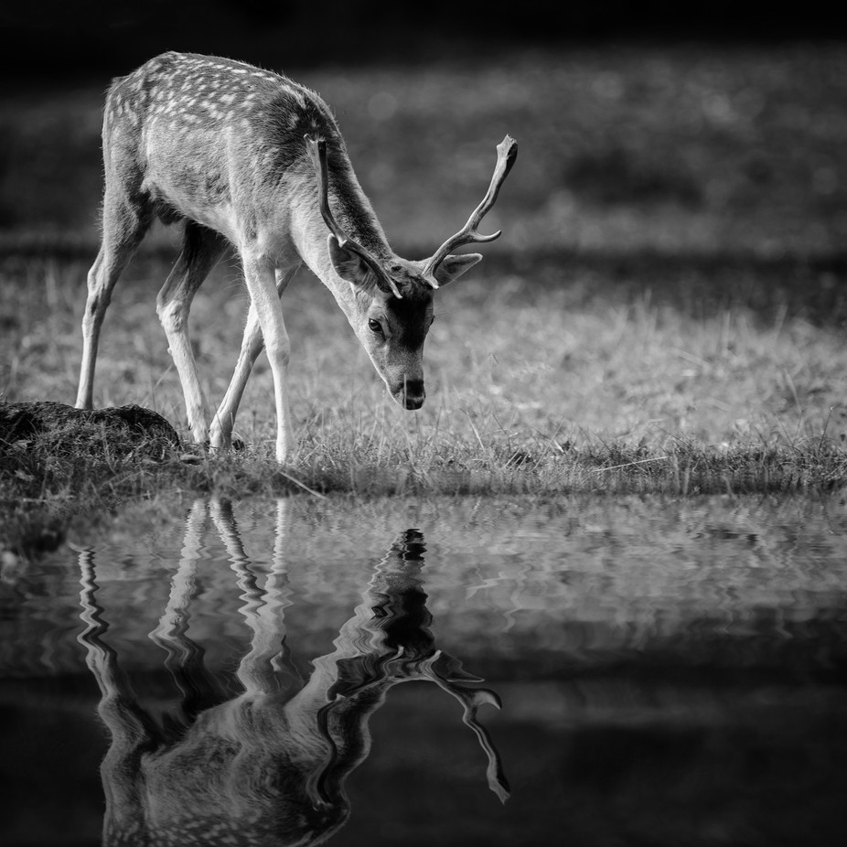 Fallow Reflection by karlredshaw - Wildlife And Water Photo Contest