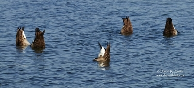 Five Canada Geese all Tipping for food at once - A World record maybe - Photo by David R. Smith