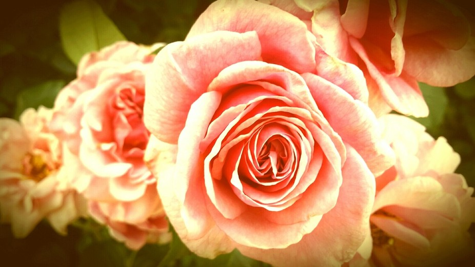 These lovely roses bloomed for me this spring. I liked capturing them in the order of blooming.